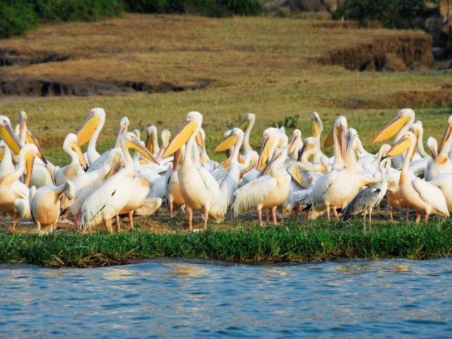 Great White Pelicans, Queen Elizabeth National Park, Uganda