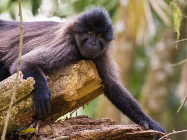 Grey-Cheeked Mangabey, Kibale National Park, Uganda