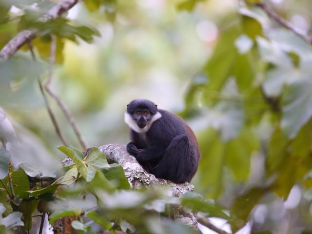 L'Hoests, Kibale National Park, Uganda