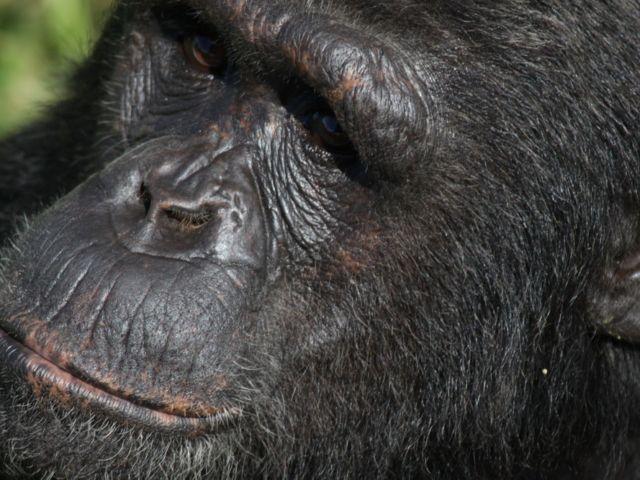 Ngamba Island Chimpanzee Sanctuary, Uganda