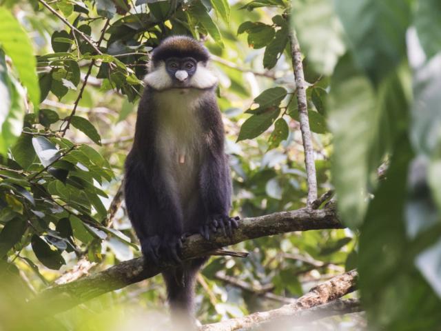 Red-Tailed Monkey, Kibale National Park, Uganda