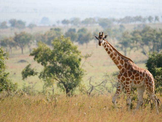 Rothschild Giraffe, Queen Elizabeth National Park, Uganda