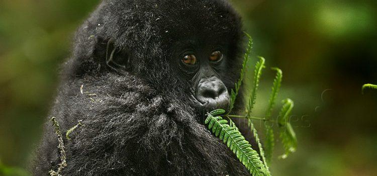 World Gorilla Day (2020)