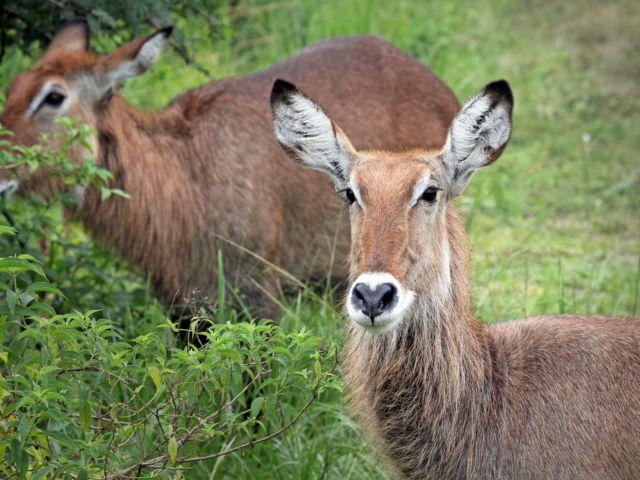 Waterbuck, Queen Elizabeth National Park, Uganda