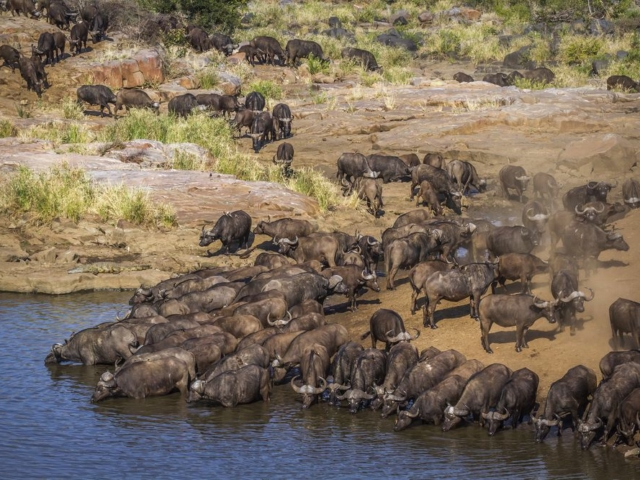 Herd of buffalo coming to drink, Kruger National Park, South Africa