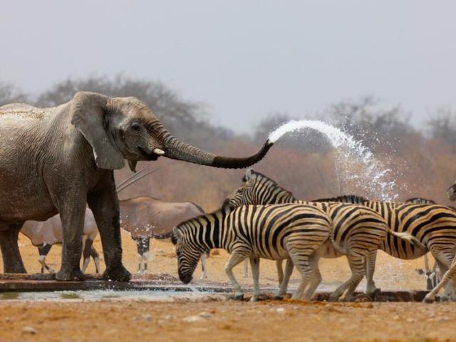 Elephants and springbok at waterhole in Etosha National Park, Namibia