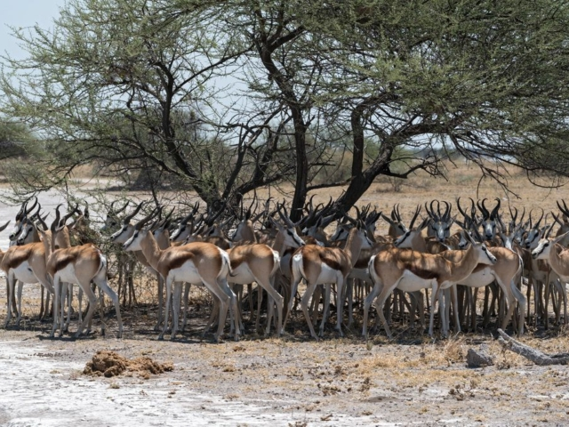 Herd of impala in the shade of a tree in Nxai Pan National Park, Botswana