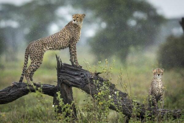 Cheetah brothers standing on a wet tree branch in the rain in Ndutu in Tanzania