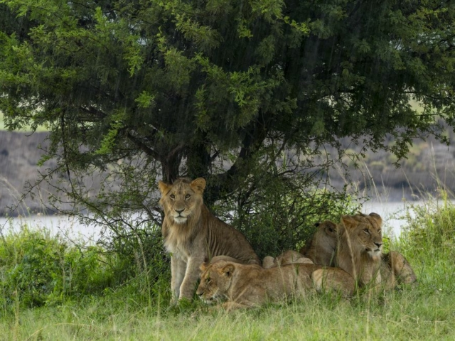 Pride of lion sheltering under bush from rain, Tanzania