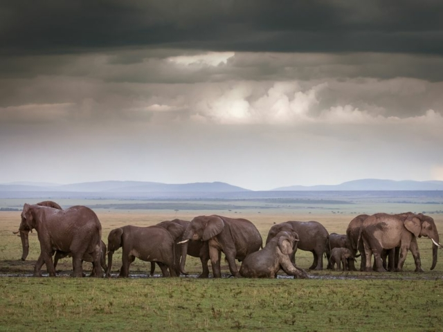 Herd of African elephants with rain clouds on the horizon