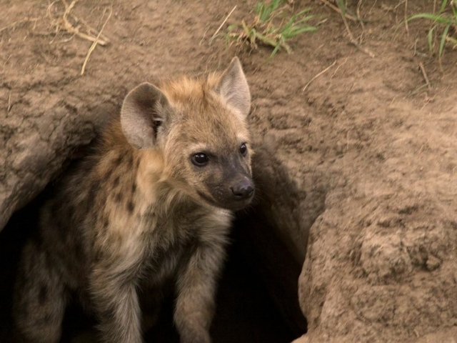 Young Spotted Hyenas