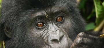 8-day Uganda and Rwanda Gorillas and Game