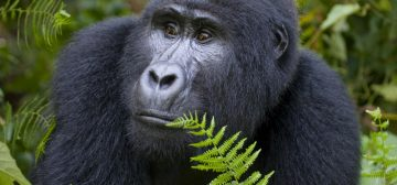 5-day Bwindi Gorilla Trek Fly-in Safari