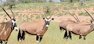 Kgalagadi Transfrontier Park (Botswana)