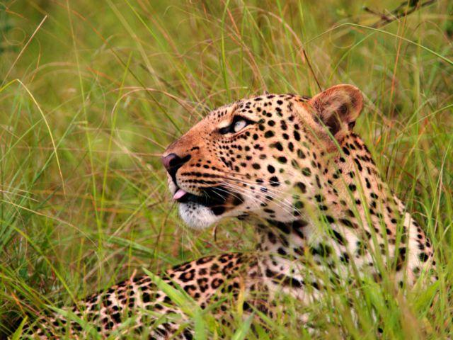 Leopard, Queen Elizabeth National Park, Uganda