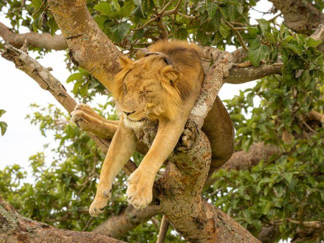 Lion, Queen Elizabeth National Park, Uganda