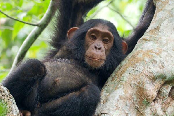 Chimpanzees of Kibale and Budongo Forest and Birding in Bigodi Wetlands, Uganda