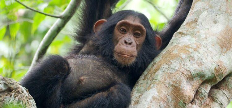 Trekking Chimps in Kibale Forest National Park