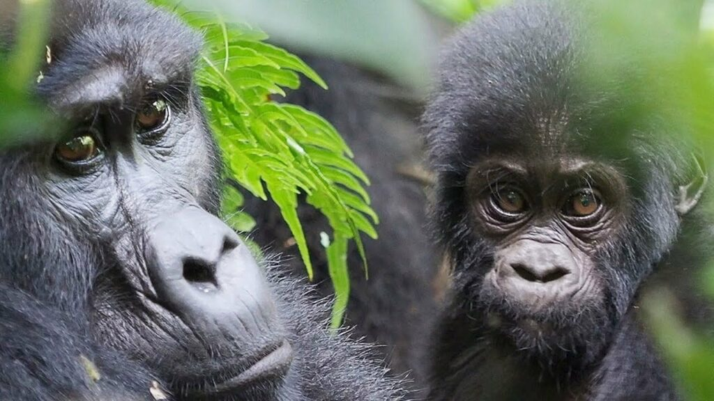 "Great Apes"" - Amazing Gorillas and Birds in Bwindi Impenetrable Forest"