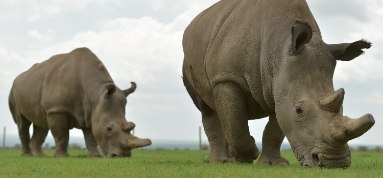 Northern White Rhinoceros Successful Egg Harvest