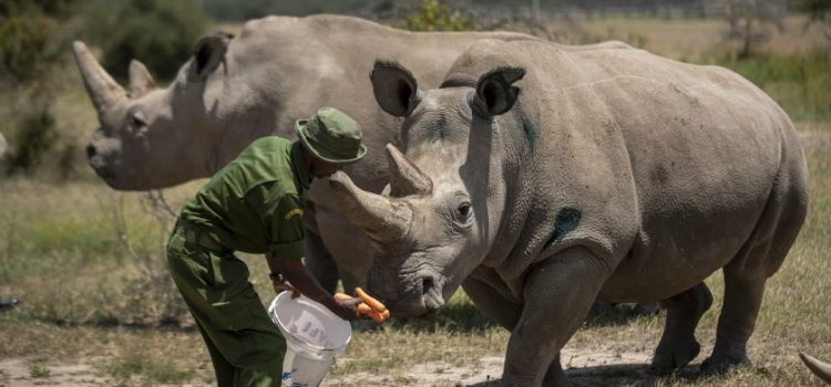 Saving the Northern White Rhinoceros