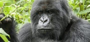 3-day Rwanda Mountain Gorilla Trek